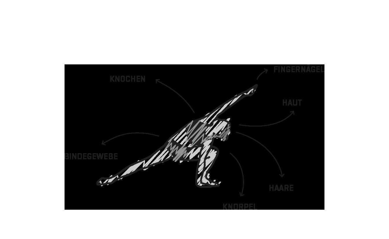 Eigenschaften von Kollagen und Kollagenhydrolysat 1